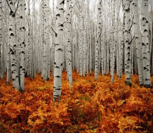 birch trees in a forest with autumn leaves